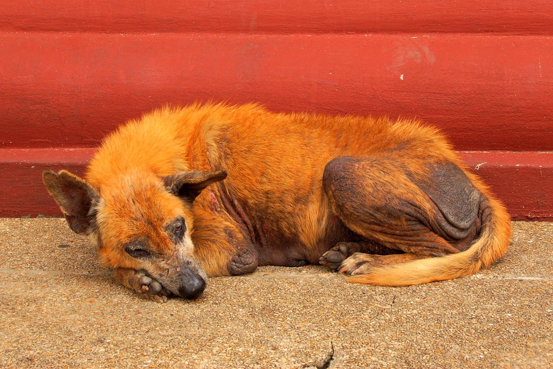 Mandibular Condylectomy in Dogs