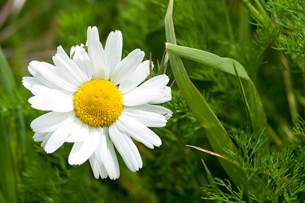 Mayweed Poisoning in Dogs - Symptoms, Causes, Diagnosis, Treatment, Recovery, Management, Cost