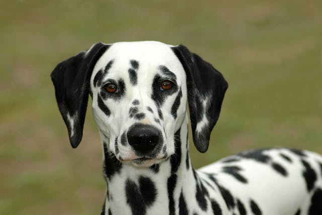 Meat Protein Allergies in Dogs - Symptoms, Causes, Diagnosis, Treatment, Recovery, Management, Cost