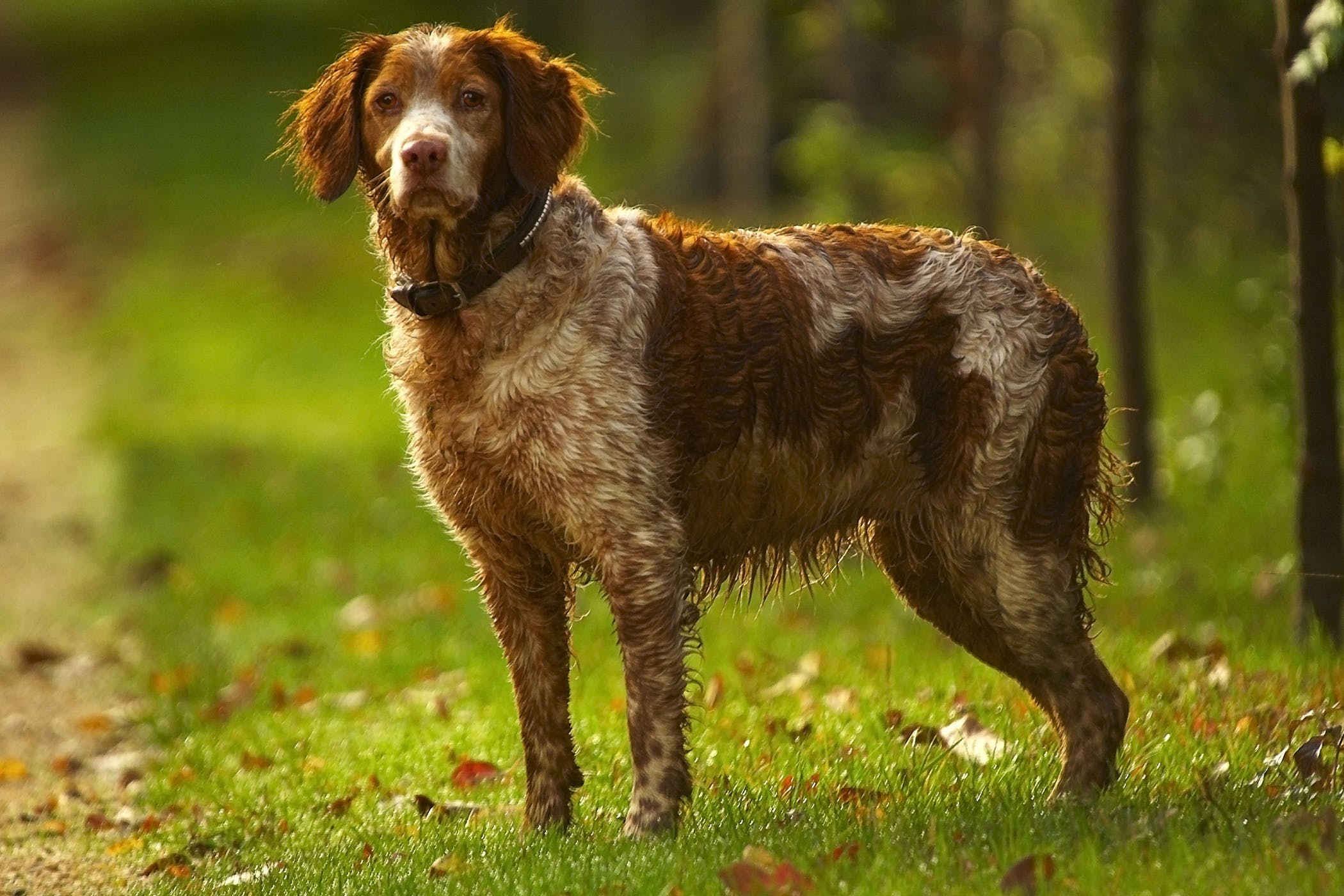 Mediastinal Pleural Debridement in Dogs
