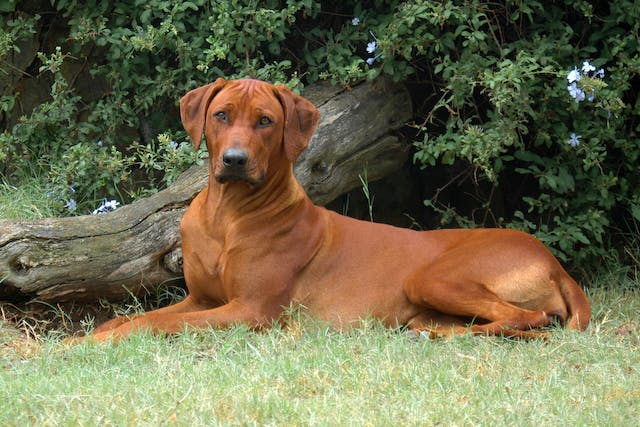 Mediastinitis in Dogs - Symptoms, Causes, Diagnosis, Treatment, Recovery, Management, Cost
