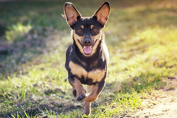 Medications For Allergy Related Itching in Dogs - Symptoms, Causes, Diagnosis, Treatment, Recovery, Management, Cost