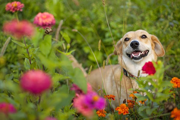 Medicine Plant Poisoning in Dogs - Symptoms, Causes, Diagnosis, Treatment, Recovery, Management, Cost