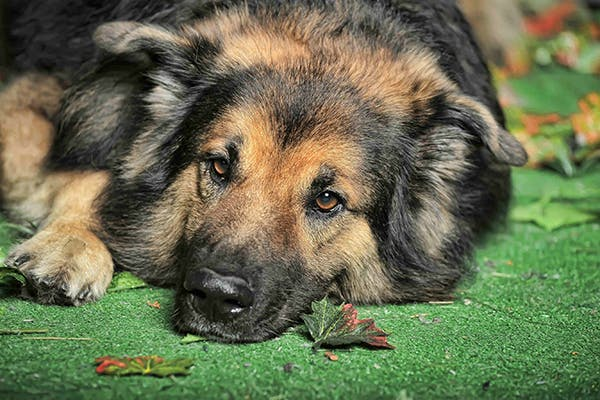 Melioidosis in Dogs - Symptoms, Causes, Diagnosis, Treatment, Recovery, Management, Cost