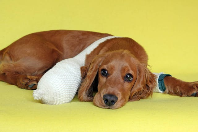 Meniscal Release in Dogs - Conditions Treated, Procedure, Efficacy, Recovery, Cost, Considerations, Prevention