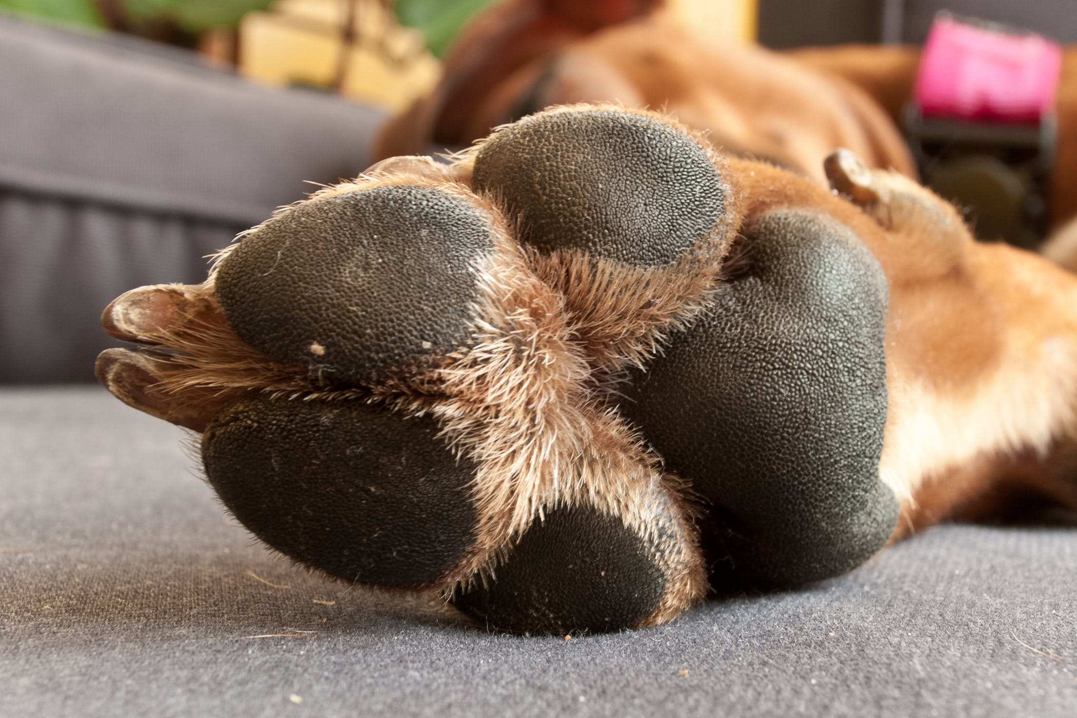 Inflamed Dog Paw Pad