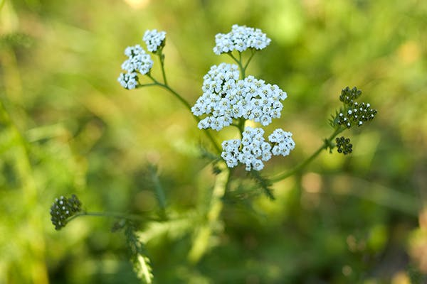 Milfoil Poisoning in Dogs - Symptoms, Causes, Diagnosis, Treatment, Recovery, Management, Cost
