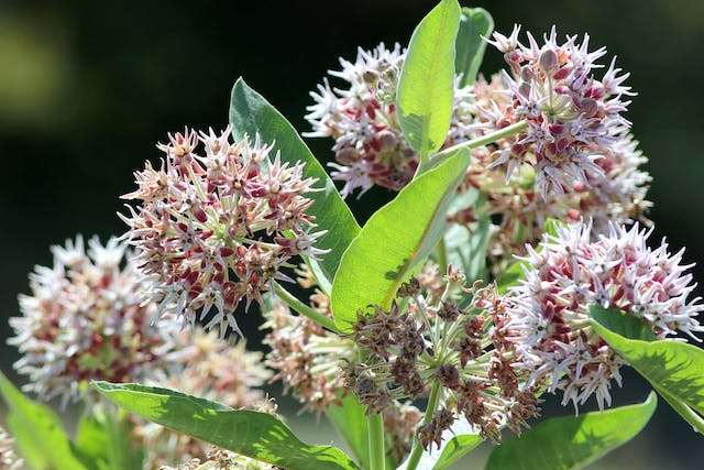 Milkweed Poisoning in Dogs - Symptoms, Causes, Diagnosis, Treatment, Recovery, Management, Cost