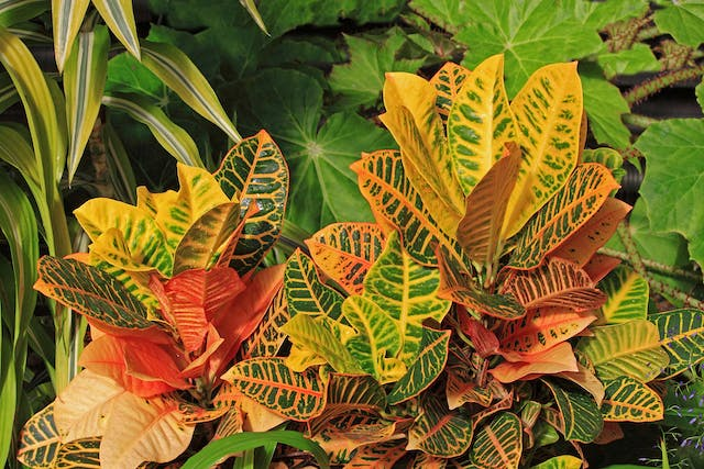 Miniature Croton Poisoning in Dogs - Symptoms, Causes, Diagnosis, Treatment, Recovery, Management, Cost