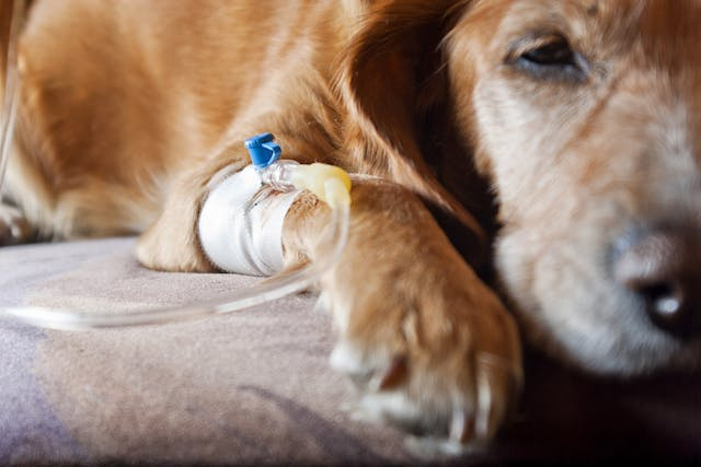 Miscarriage in Dogs - Symptoms, Causes, Diagnosis, Treatment, Recovery, Management, Cost