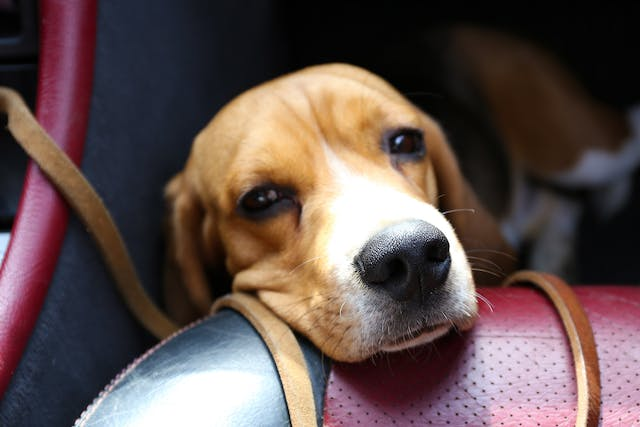 Motion Sickness in Dogs - Symptoms, Causes, Diagnosis, Treatment, Recovery, Management, Cost