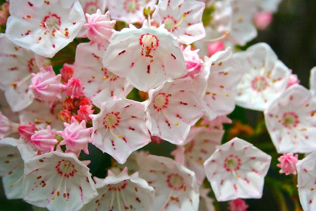 Mountain Laurel Poisoning in Dogs - Symptoms, Causes, Diagnosis, Treatment, Recovery, Management, Cost