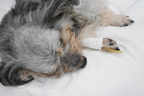 Multiple Organ Dysfunction Syndrome (MODS) in Dogs - Symptoms, Causes, Diagnosis, Treatment, Recovery, Management, Cost