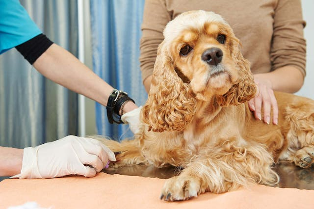 Mumps in Dogs - Symptoms, Causes, Diagnosis, Treatment, Recovery, Management, Cost