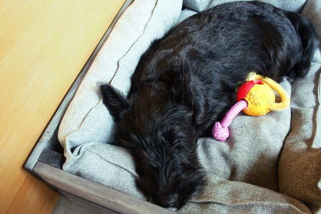 Muscle Cramps (Scottish Terriers) in Dogs - Symptoms, Causes, Diagnosis, Treatment, Recovery, Management, Cost