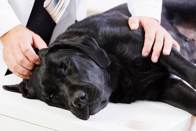 Muscle Spasms in Dogs - Symptoms, Causes, Diagnosis, Treatment, Recovery, Management, Cost