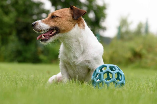 Muscle Weakness in Dogs - Symptoms, Causes, Diagnosis, Treatment, Recovery, Management, Cost