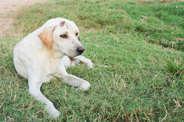 Muzzle Pyoderma in Dogs - Symptoms, Causes, Diagnosis, Treatment, Recovery, Management, Cost