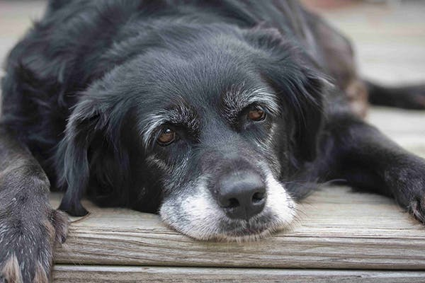 Myasthenia Gravis in Dogs - Symptoms, Causes, Diagnosis, Treatment, Recovery, Management, Cost