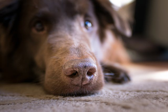 Myotonia Congenita in Dogs - Symptoms, Causes, Diagnosis, Treatment, Recovery, Management, Cost