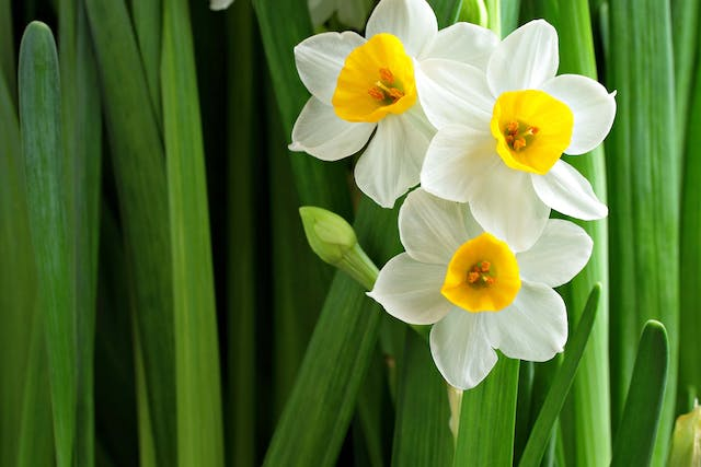 Narcissus Poisoning in Dogs - Symptoms, Causes, Diagnosis, Treatment, Recovery, Management, Cost