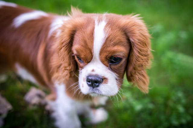Nasodigital Hyperkeratosis in Dogs - Symptoms, Causes, Diagnosis, Treatment, Recovery, Management, Cost
