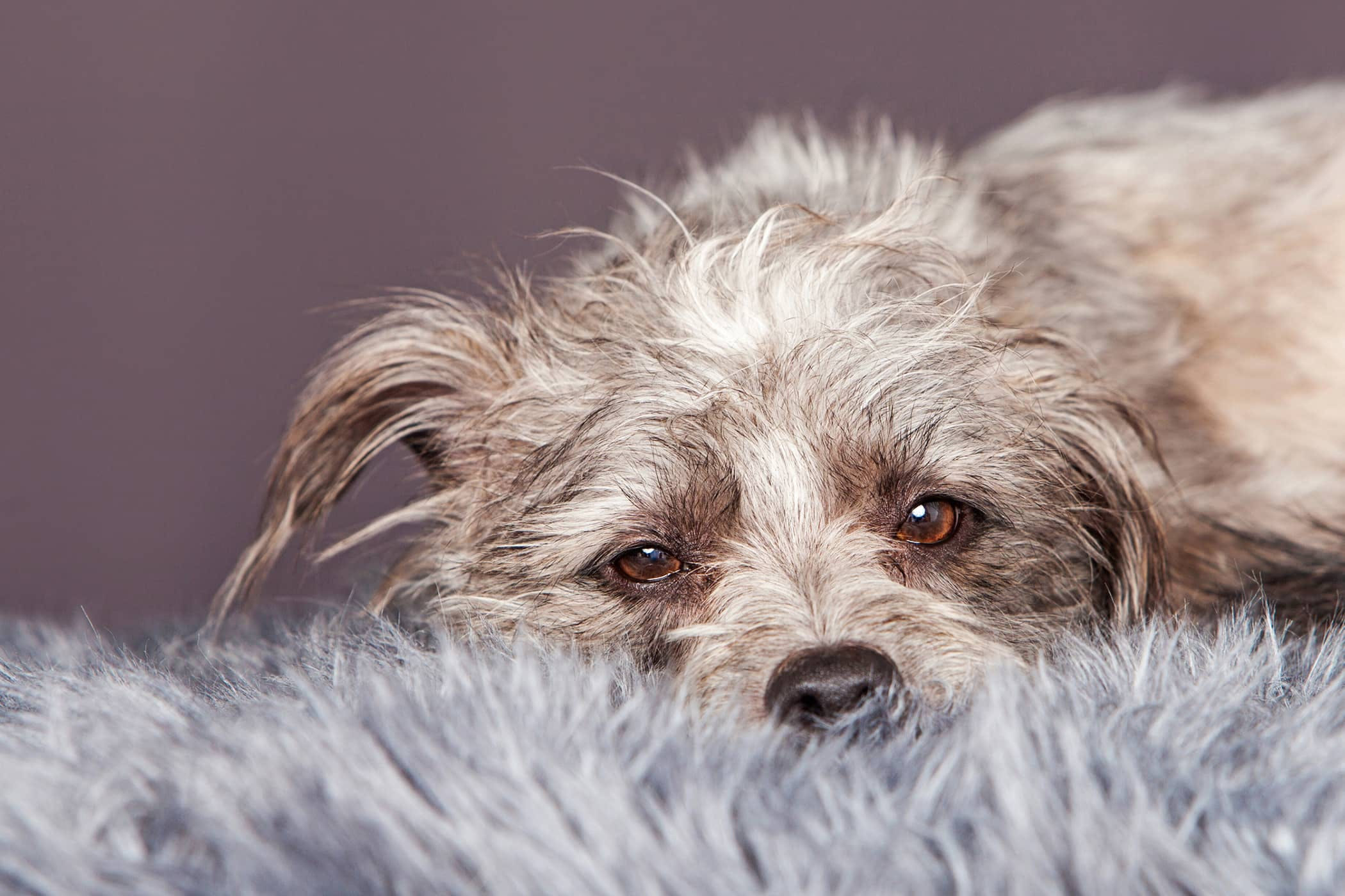 Natural Cough Remedies In Dogs Procedure Efficacy Recovery