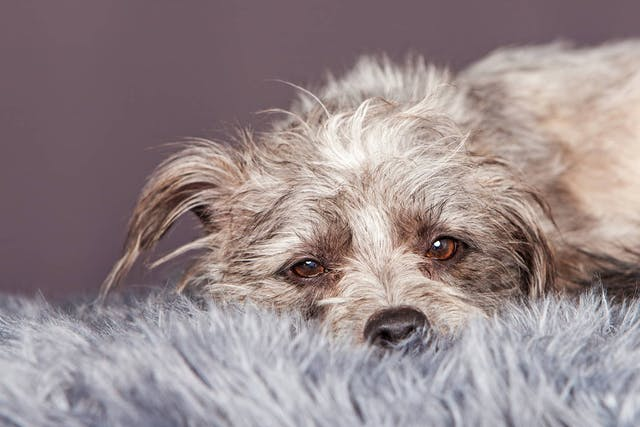 Natural Cough Remedies in Dogs - Conditions Treated, Procedure, Efficacy, Recovery, Cost, Considerations, Prevention