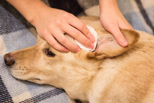 Natural Ear Infection Remedies  in Dogs - Conditions Treated, Procedure, Efficacy, Recovery, Cost, Considerations, Prevention