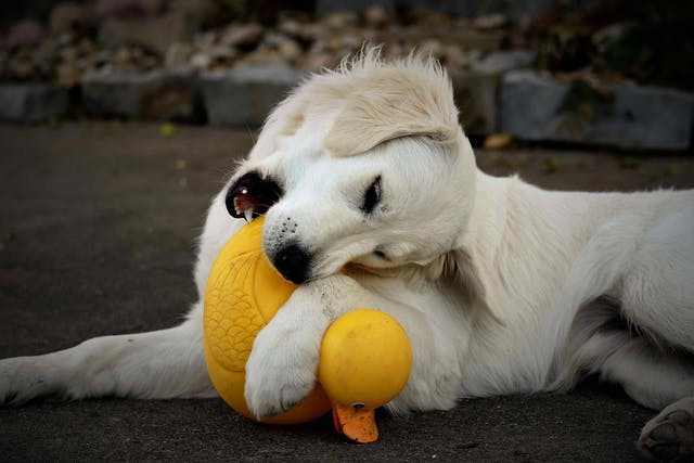 Natural Pain Relief for Teething in Dogs - Conditions Treated, Procedure, Efficacy, Recovery, Cost, Considerations, Prevention