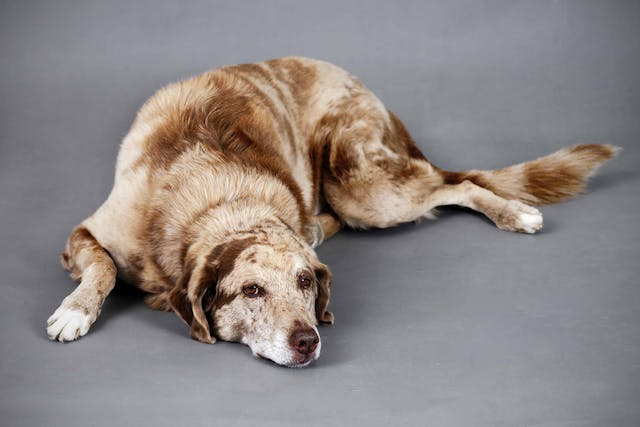 Natural Seizure Remedies in Dogs - Conditions Treated, Procedure, Efficacy, Recovery, Cost, Considerations, Prevention