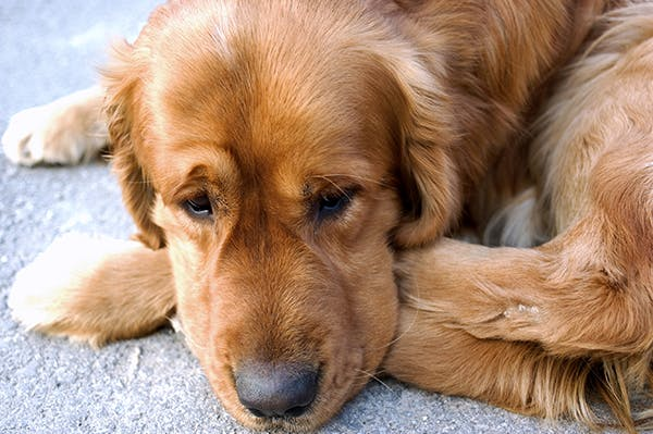 Necrotizing Fasciitis in Dogs - Symptoms, Causes, Diagnosis, Treatment, Recovery, Management, Cost
