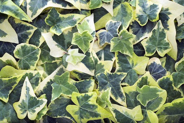 Needlepoint Ivy Poisoning in Dogs - Symptoms, Causes, Diagnosis, Treatment, Recovery, Management, Cost