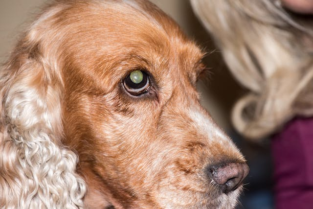 Nephrotic Syndrome in Dogs - Symptoms, Causes, Diagnosis, Treatment, Recovery, Management, Cost