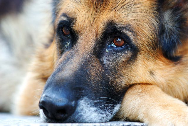 NexGard Allergies in Dogs - Symptoms, Causes, Diagnosis, Treatment, Recovery, Management, Cost
