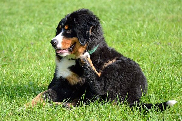 Nickel Allergies in Dogs - Symptoms, Causes, Diagnosis, Treatment, Recovery, Management, Cost