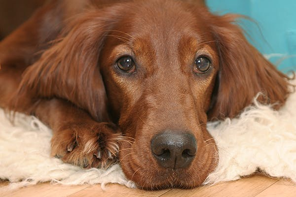 Noise Sensitivities in Dogs - Symptoms, Causes, Diagnosis, Treatment, Recovery, Management, Cost