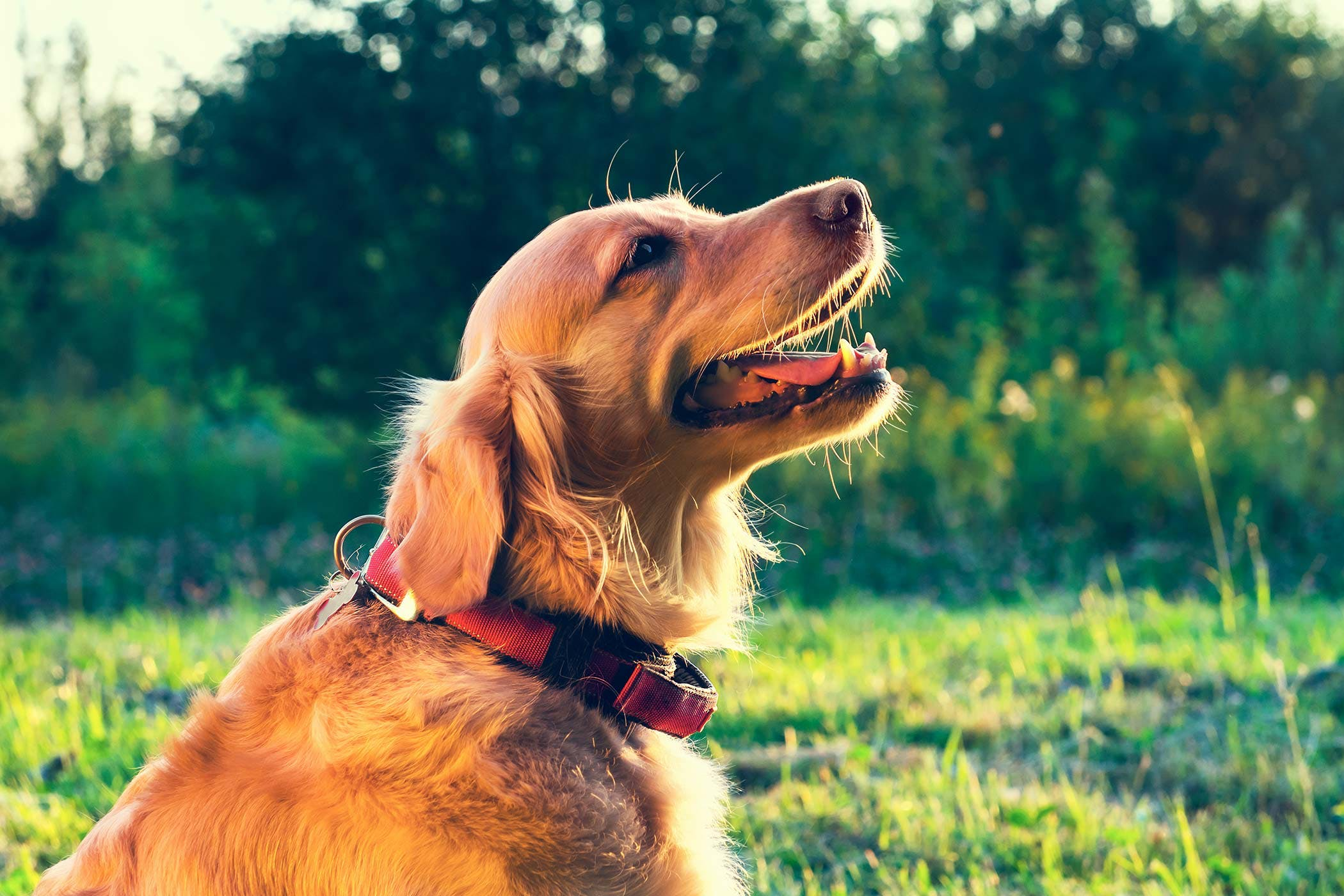 Noisy Breathing in Dogs - Symptoms, Causes, Diagnosis, Treatment