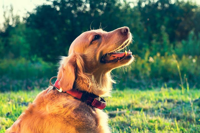 Noisy Breathing in Dogs - Symptoms, Causes, Diagnosis, Treatment, Recovery, Management, Cost