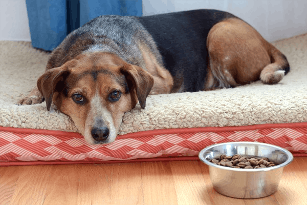 Non-Beef Protein Allergies in Dogs - Symptoms, Causes, Diagnosis, Treatment, Recovery, Management, Cost
