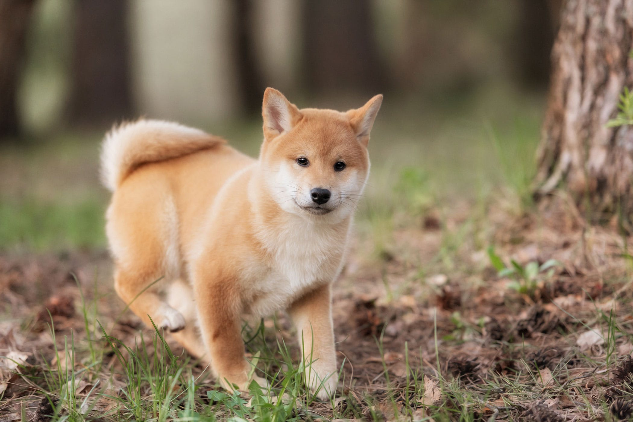 non steroidal anti inflammatory drug toxicity in dogs symptoms