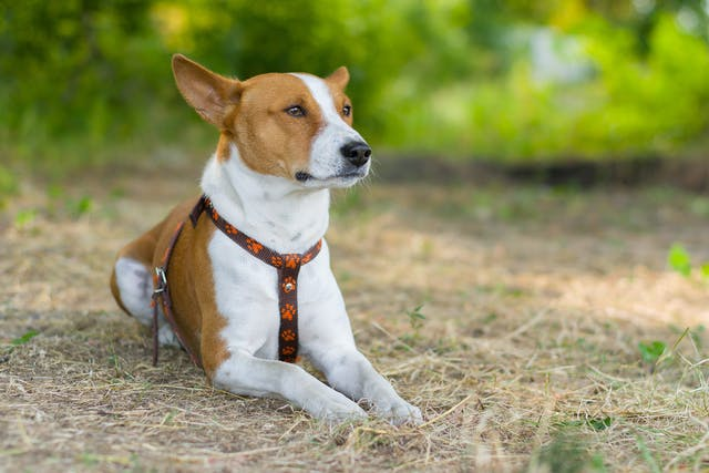 Nose Cancer in Dogs - Symptoms, Causes, Diagnosis, Treatment, Recovery, Management, Cost