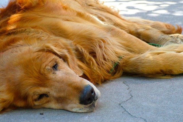 Nylon Allergies in Dogs - Symptoms, Causes, Diagnosis, Treatment, Recovery, Management, Cost