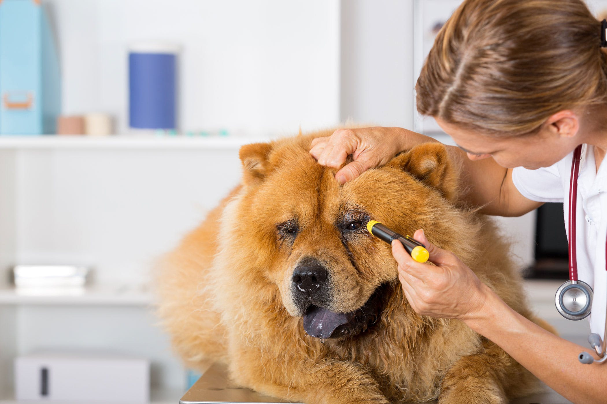 Nystagmus in Dogs - Symptoms, Causes, Diagnosis, Treatment