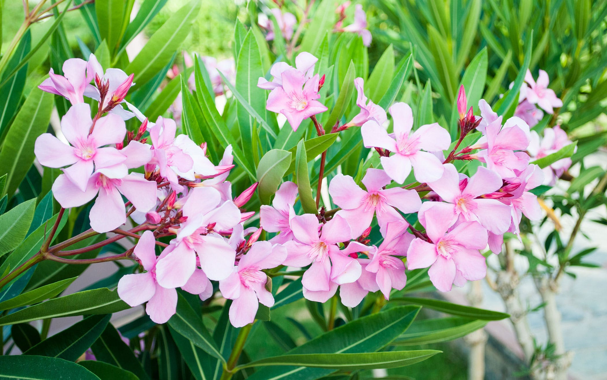 Oleander poisoning in dogs symptoms causes diagnosis treatment oleander poisoning in dogs mightylinksfo