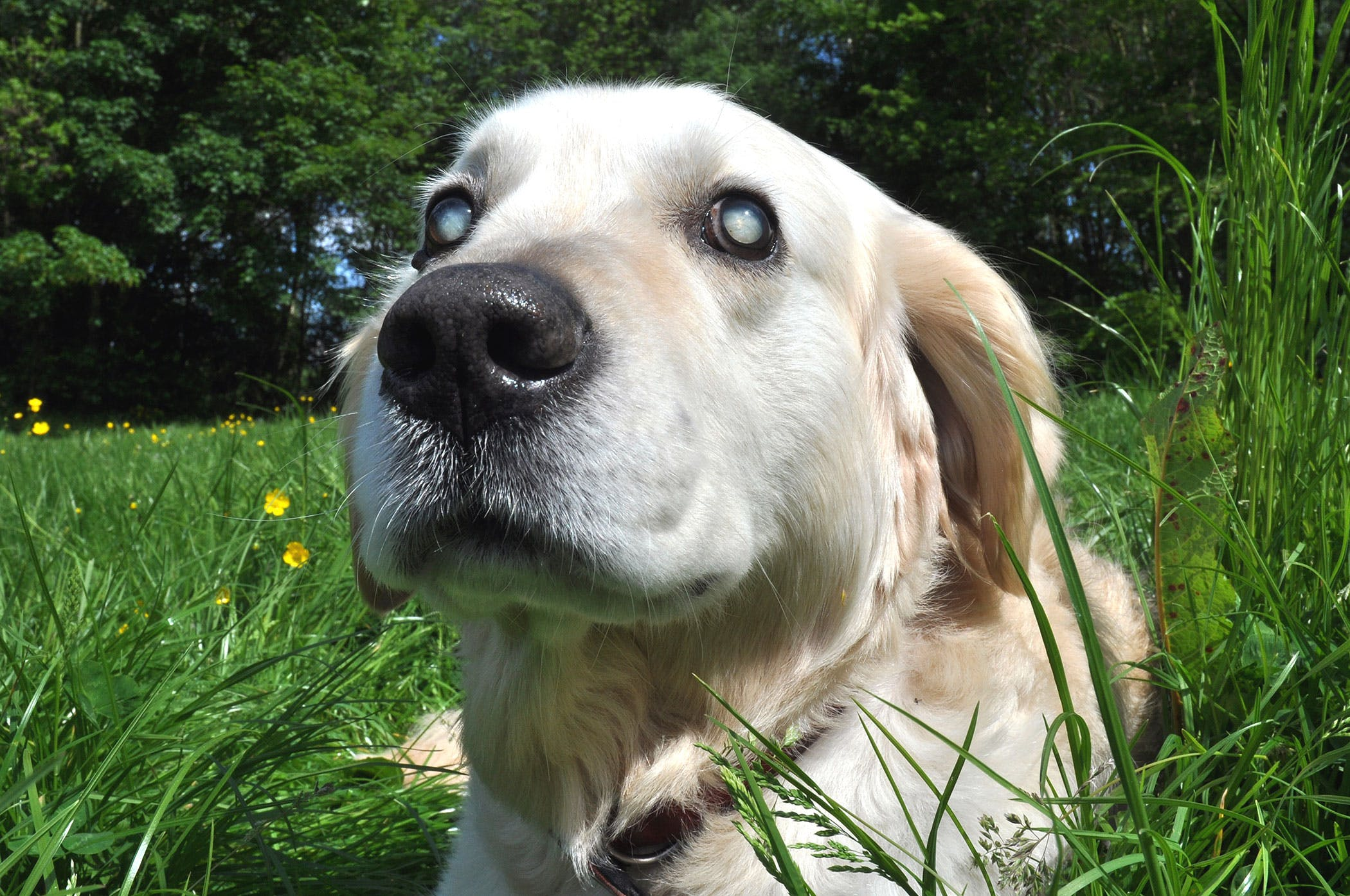 Optic Neuritis in Dogs - Symptoms, Causes, Diagnosis