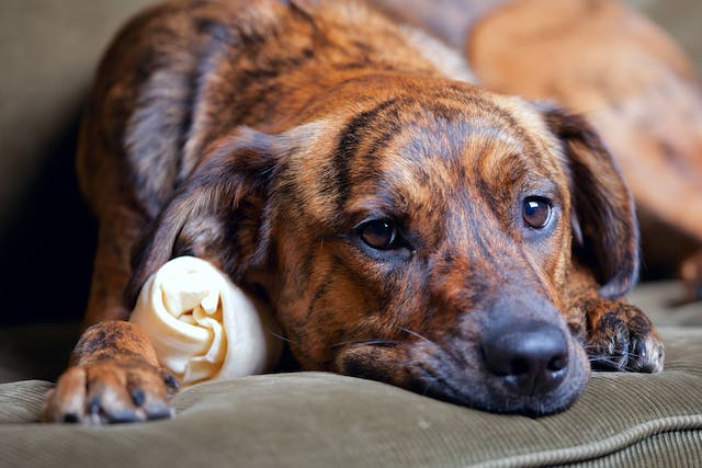 Oral Inflammatory and Ulcerative Disease in Dogs - Symptoms, Causes, Diagnosis, Treatment, Recovery, Management, Cost