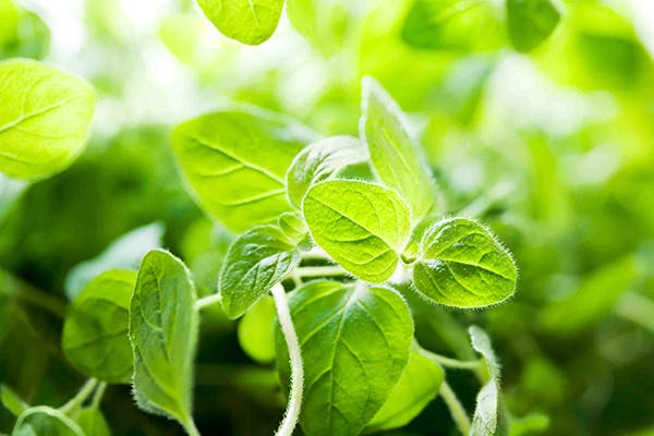 Oregano Poisoning in Dogs - Symptoms, Causes, Diagnosis, Treatment, Recovery, Management, Cost