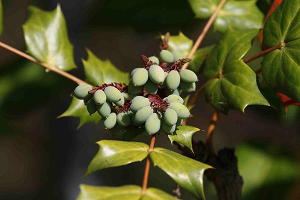 Oregon Holly Poisoning in Dogs - Symptoms, Causes, Diagnosis, Treatment, Recovery, Management, Cost