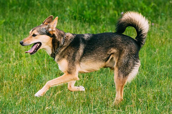 Osteoarthritis in Dogs - Symptoms, Causes, Diagnosis, Treatment, Recovery, Management, Cost